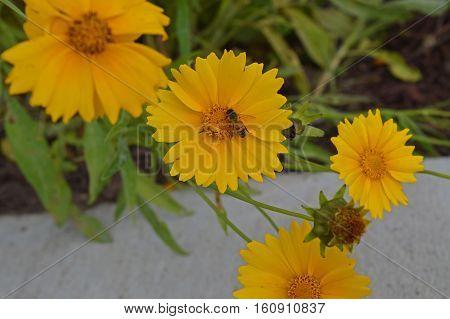 Honeybee gathering pollen from a yellow flower.
