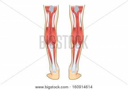 Calf Muscle Human. Vector & Photo (Free Trial) | Bigstock