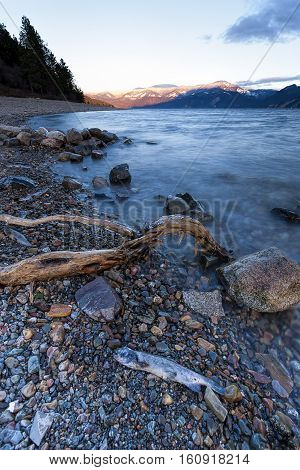 Dead fish and branch in landscape image on Pend Oreille Lake in Idaho.