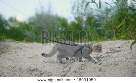British Shorthair Tabby cat in collar walking on sand, camping