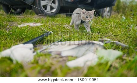 British shorthair cat walking near spear fishing Freshwater Fish at grass in camping, outdoor