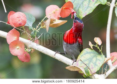 Crimson Sunbird in nature at Kitchakoot mountain national park,Thailand