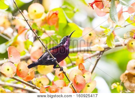 Van Hasselt's Sunbird male bird of Thailand.