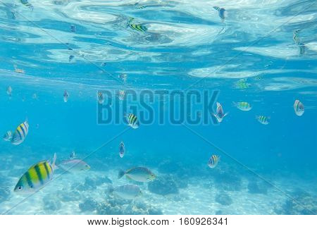 Underwater landscape with coral fishes. School of dascillus fish. Yellow and black striped coral fish. Clean blue sea lagoon with coral reef. Oceanic ecosystem. Underwater photography of aquatic life