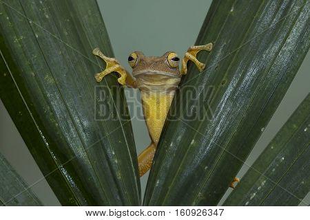 Javan tree frog, tree frog out from hiding