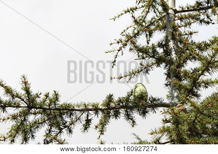 Close-up of a cedar tree branch with a cone.
