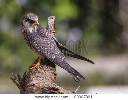 Female Amur falcon (Falco amurensis) Very Rare Passage Migrant