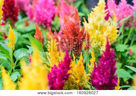 Colorful plumed cockscomb flower or Celosia argentea plant in the garden