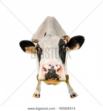 Funny cute cow isolated on white. Looking at the camera black and white cow close up. Funny curious cow. Farm animals. Pet cow on white. Cow close looking at the camera
