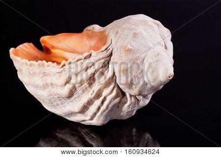 single great seashell isolated on black background