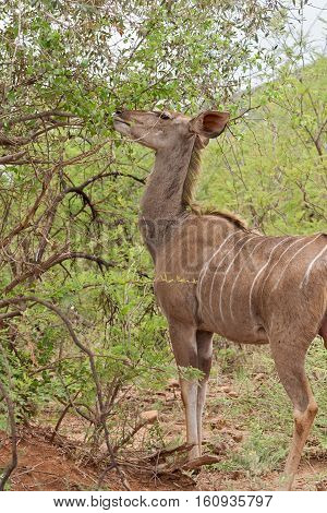 Female greater kudu Tragelaphus strepsiceros in South Africa