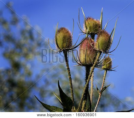 Teasels are probably most commonly known for their brown, prickly stems and conical seed heads which persist long after the plants themselves have died back for the winter.