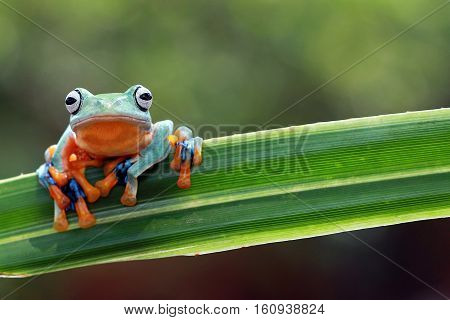 Javan tree frog, beautiful tree frog stay on leaves