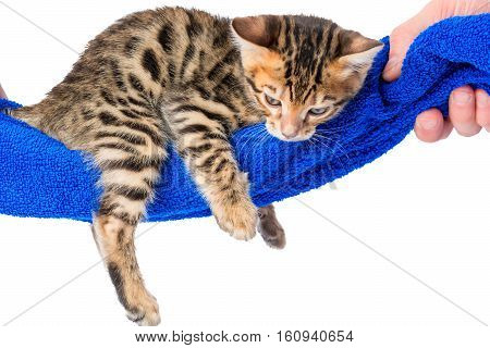 Little Kitten With Stripes Resting In A Hammock