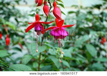 A cluster of Fuschia flowers & buds dangling.