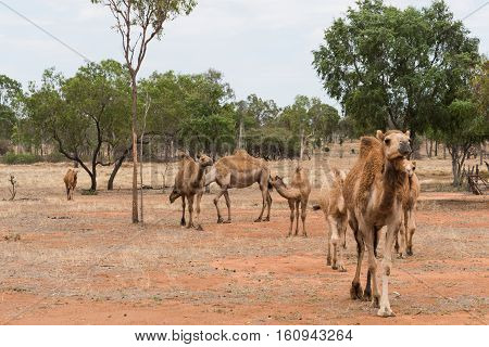 Herd of camels on an Australian camel farm Queensland