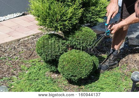 Thuja or boxwood with a hedge trimmer in form cutting