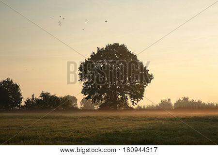 Oak tree on a misty morning at the beginning of autumn.