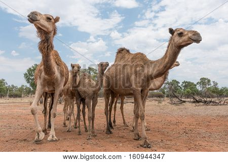 Camels on a camel farm in Queensland Australia