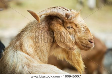 Goat looking sideways at the elegant blonde.