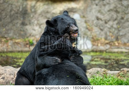 Big Bear is a wild black bear two bears playing theory.