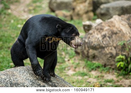 Big Bear is a wild black bear sitting on a rock theory bears.