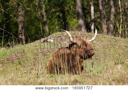 Relaxed scottish highland beef sitting in meadow