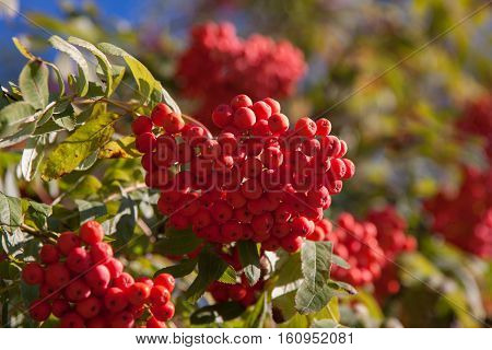 Branch of a mountain ash with red berries
