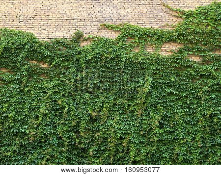 Creeper on an brick wall, nature texture background