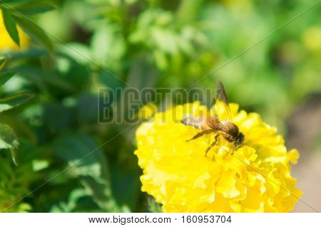 Marigold Flowers and Insects in the park
