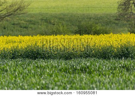 Natural yellow rape field (Brassica napus) with green environment