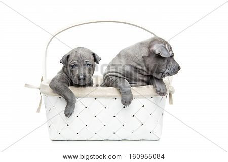 One month old thai ridgeback puppy dogs sitting un white basket. Isolated on white. Copy space.