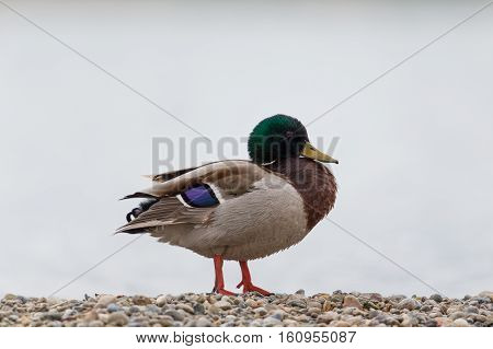 Natural isolated male mallard (Anas platyrhynchos) standing on the beach