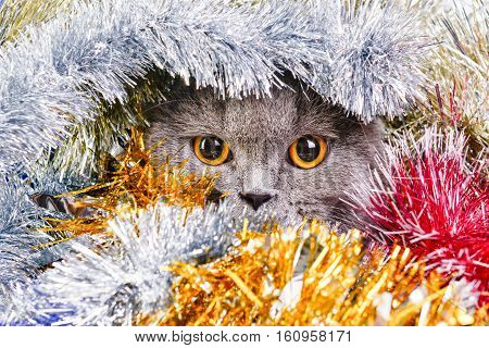 Photo by beautiful scottish cat in the colored tinsel.