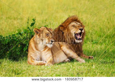 Portrait of beautiful lion and lioness resting at safari park, Masai Mara National Reserve