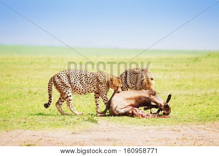 Portrait of two cheetahs eating kill at African savanna