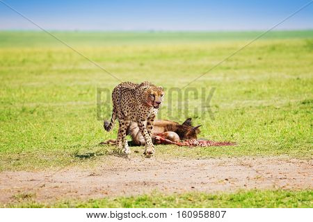 Portrait of African cheetah after feasting on wildebeest kill, Masai Mara National Reserve, Kenya
