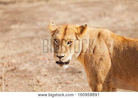Close-up portrait of beautiful African lioness in nature habitat, Kenya