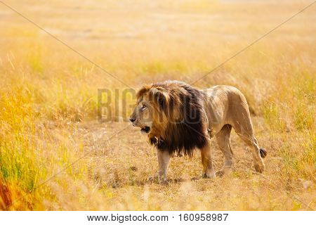 Portrait of strong African lion in the nature habitat in Masai Mara National Reserve, Kenya