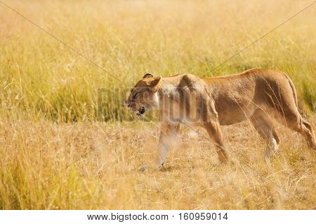 Side view portrait of beautiful young lioness hunting in the nature habitat in Masai Mara National Reserve, Kenya