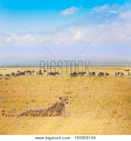Cheetah laying on dried grass during the Great Migration with Kilimanjaro at background, Masai Mara National Reserve