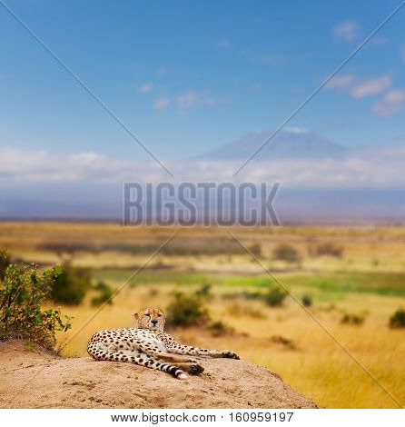 Portrait of African cheetah having rest, laying on a hill of Kenyan savanna, Masai Mara National Reserve