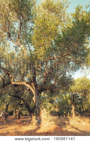 Old Olive Tree In Morning Sunlight, Toned