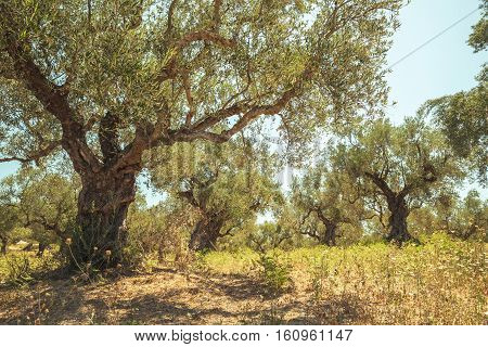 Old Olive Tree In Morning Sunlight