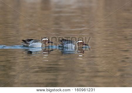 two mirrored male garganey ducks (Anas querquedula) swimming in water