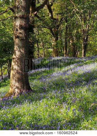 The bluebell (hyacinthoides non-scripta) is a bulbous perennial plant found in Atlantic areas from north-western Spain to the British Isles and also frequently used as a garden plant. It is known in English as the common bluebell or simply bluebell and ca