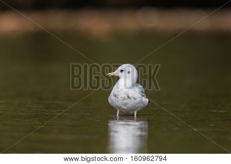 common black-headed gull (Chroicocephalus ridibundus Larus ridibundus) standing in the water