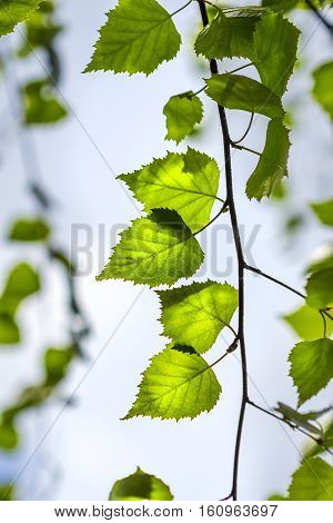 Silver birch (lat. Betula pendula). Branch with young green leaves close-up