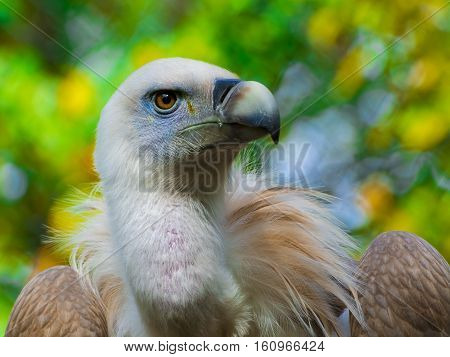 Portrait of a griffon vulture - Gyps fulvus poster