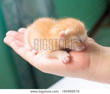 Newborn kitty in hand. New born baby cat. Red kitty in caring hands. Cute baby cat close photo. Lovely kitten pet sleeping in hands. Sweet cat child closeup. Blind kitten idyllic image. First day cat
